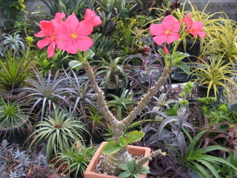 Pachypodium baronii.pics - Google Search