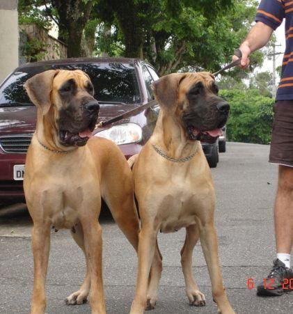 dogs dourados
