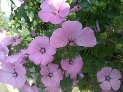 Seme cveća: Lavathera trimestris rozi (100 semena)