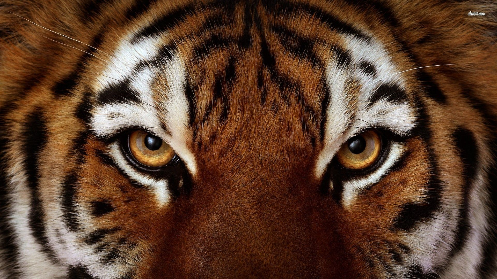 Wallpapers For Angry Bengal Tiger Wallpaper