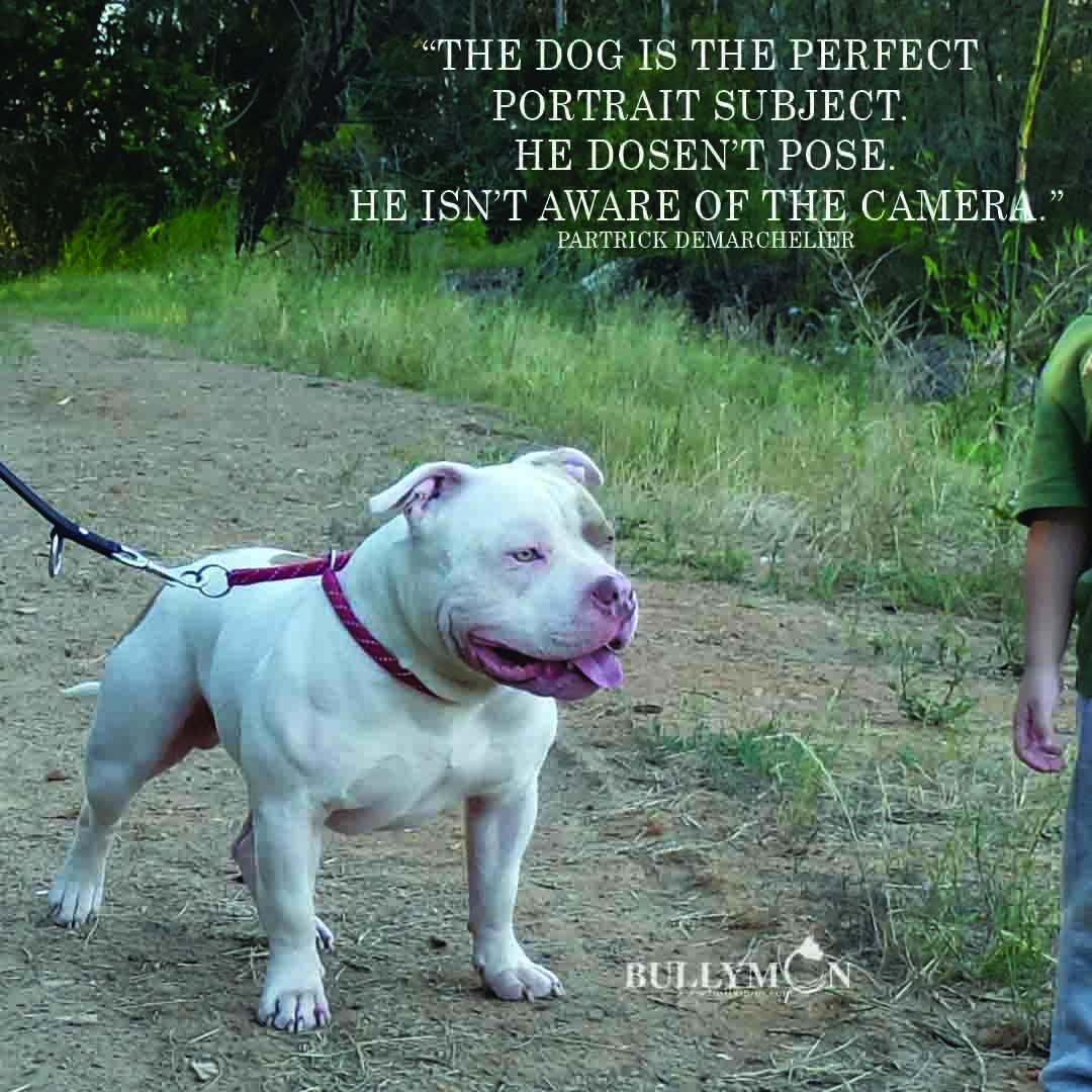 Portrait Of American Bully American Bully Bully Breeds Breeds
