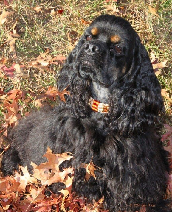 He Was A Little Black Dog With Long Silky Hair And Small Balck Eyes That Twinkled Merrily On Either Side Of His Fu Dogs Cocker Spaniel Puppies Spaniel Puppies