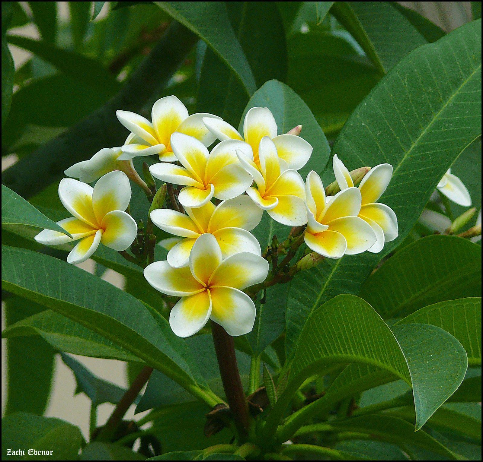 Plumeria פלומריה 0006 Plumeria Flowers Plumeria Tree Frangipani