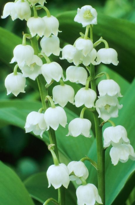 Convallaria Majalis Berlin Giant Lily Of The Valley Meadows Flowers Lily Of The Valley Flowers Lily Of The Valley Flowers
