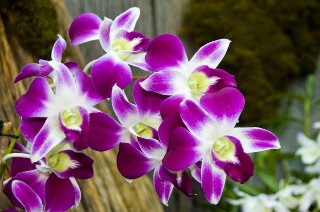 10 Gambar Bunga Anggrek Berbagai Warna Gambar Animasi Bunga Anggrek Mawar Ungu