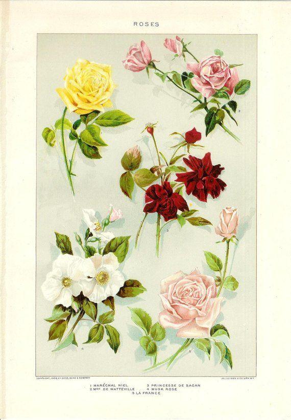 VICTORIAN PRINT Old Vintage 1909 Antique ROSE FLOWER