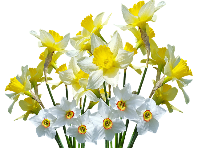 Wiosna Daffodils Osterglocken Daffodils Growing Gardens Garden Planning