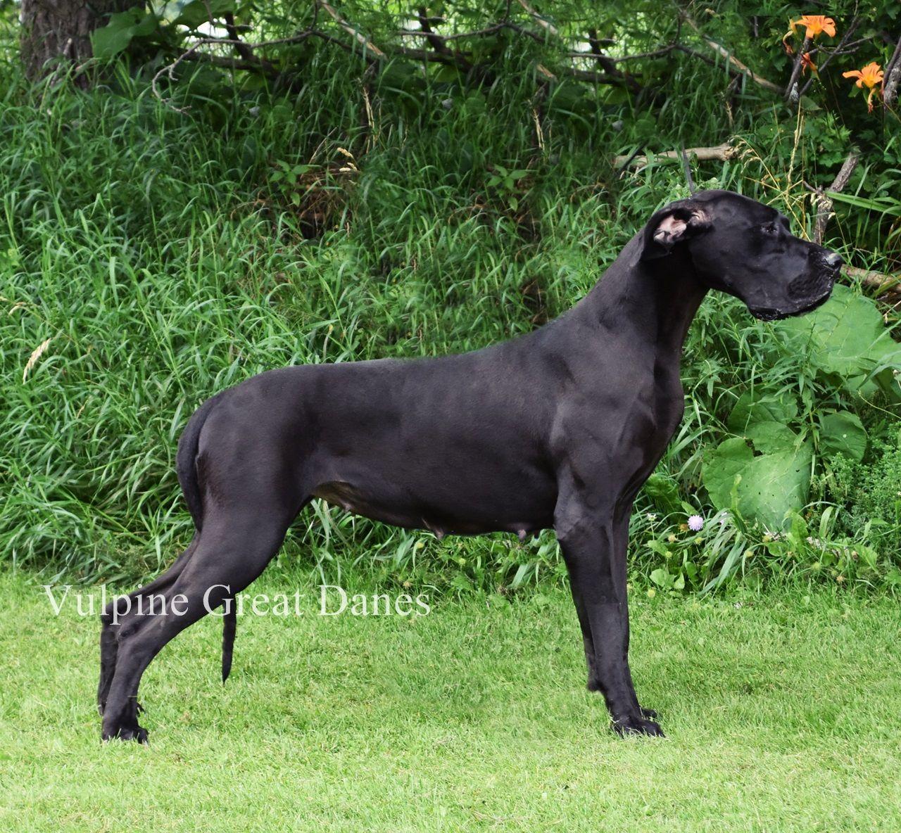 Vulpine S Karma Black Great Danes Animals Dogs