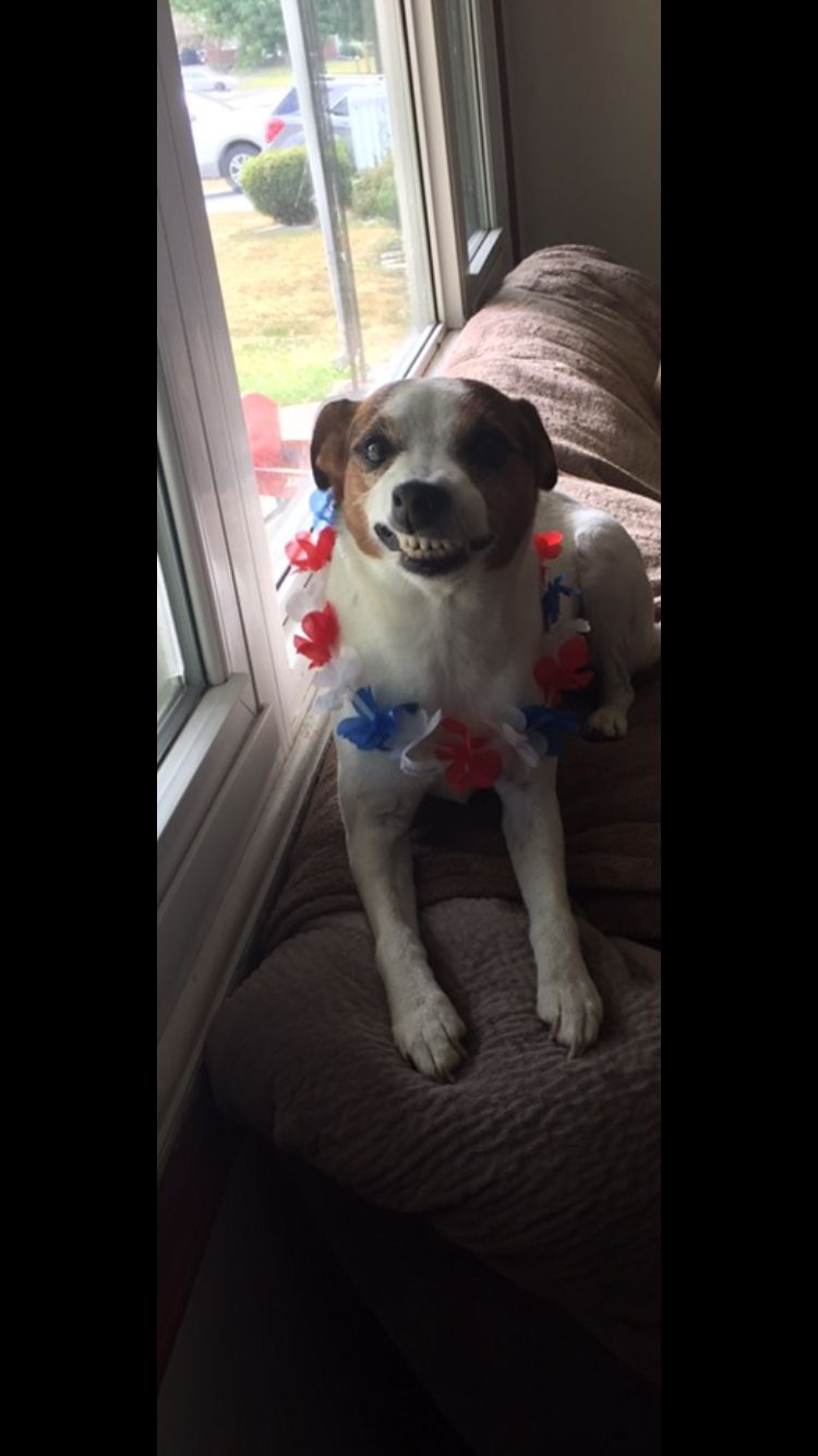 Yep this is my dog Chloe on the Fourth of July! #smile #righttiming #jackrussel #cute #9yearsold #dog #puppy #dogs #puppies #adorable #love #funny