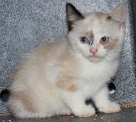 Adopt Minka On Petfinder Cute Cats Crazy Cats Snowshoe Cat
