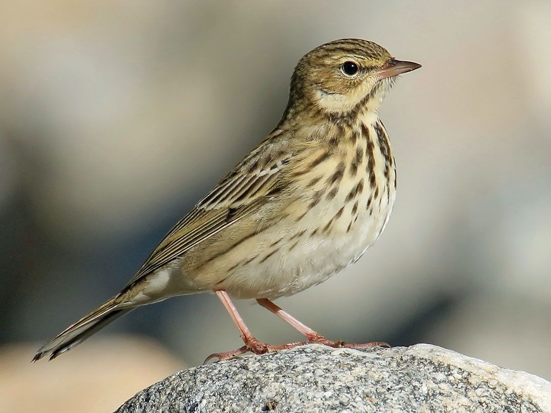 Tree Pipit Anthus Trivialis By Imran Shah In Pakistan With