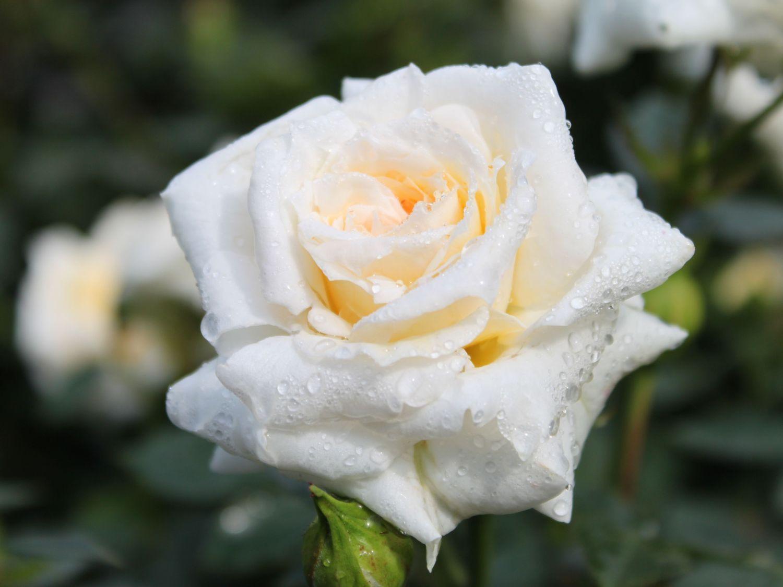 Zwergrose 'Honeymilk' ® - Rosa 'Honeymilk' ®