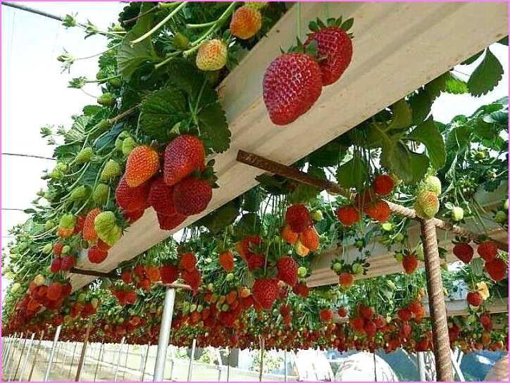 Hanging Strawberry Planter Gutter Garden Strawberry Garden Plants
