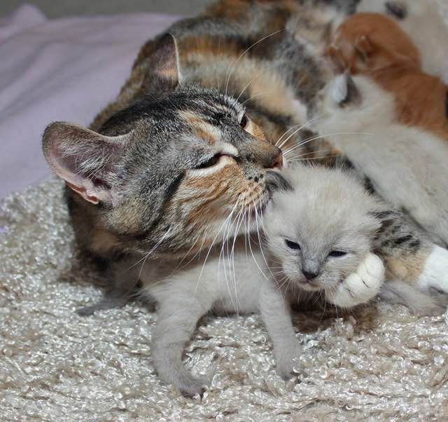 Stray Cat Mama Found Help To Safe Place Right Before She Gave Birth To Her 6 Babies Love Meow Mama Cat Cats Cat Mom