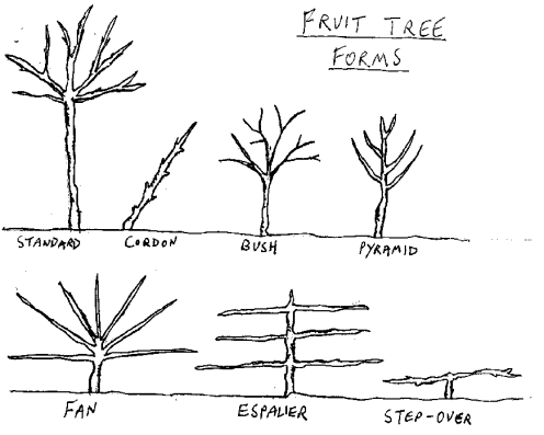 Fruit Tree Forms Fruit Trees Espalier Fruit Trees Tree