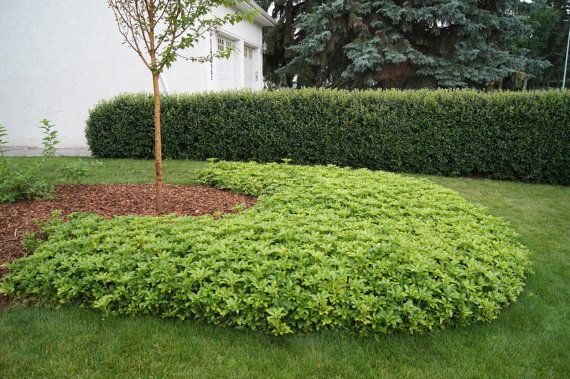 Ground Cover Plants Evergreen, Ground Cover Around Trees