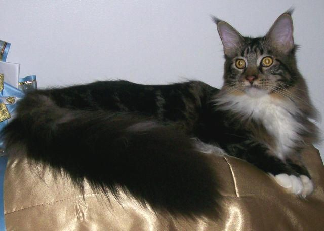 Pin On Felines Maine Coon Cat Norwegian Forest Cat