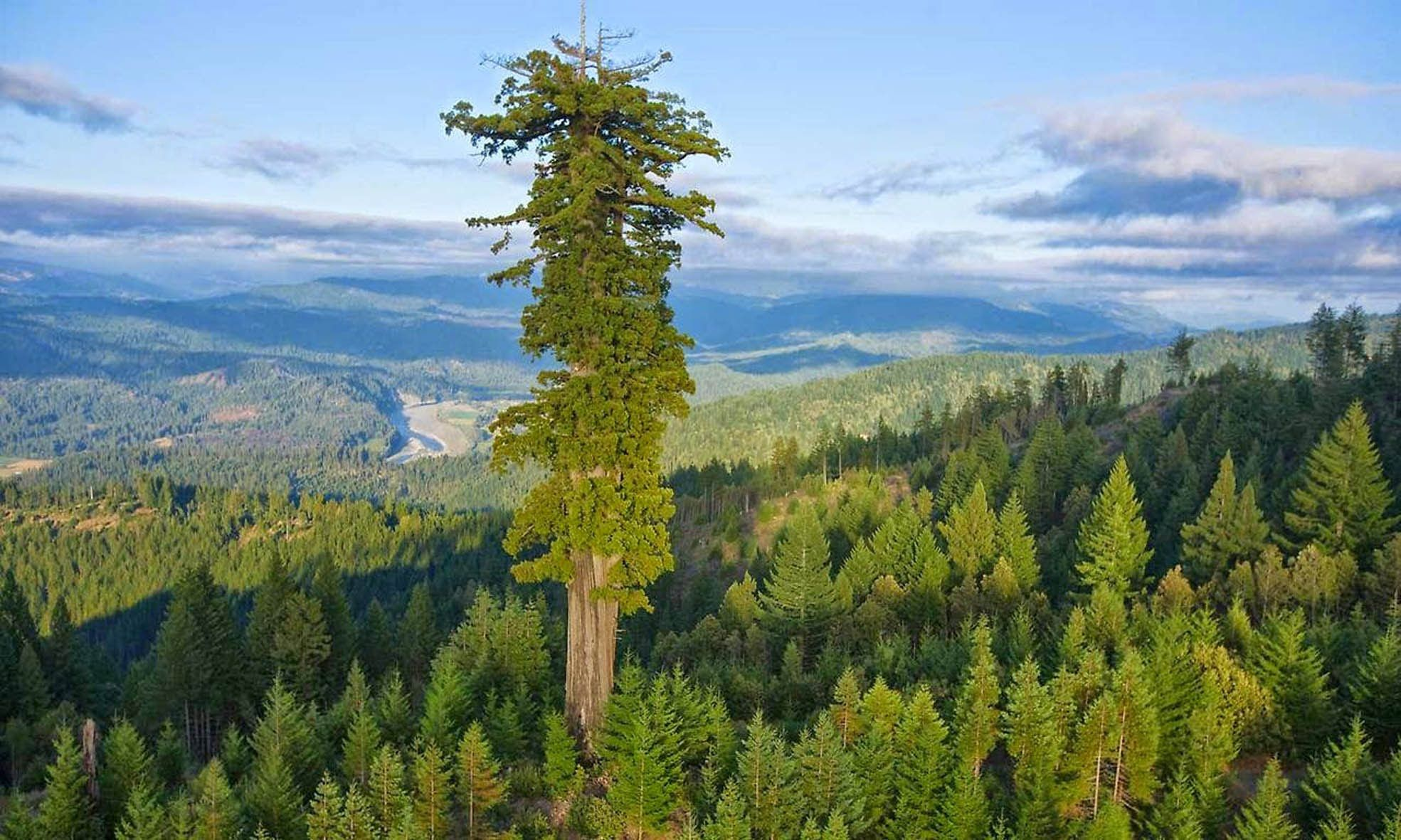 Maior Arvore Do Mundo Hyperion The Tallest Tree In The World