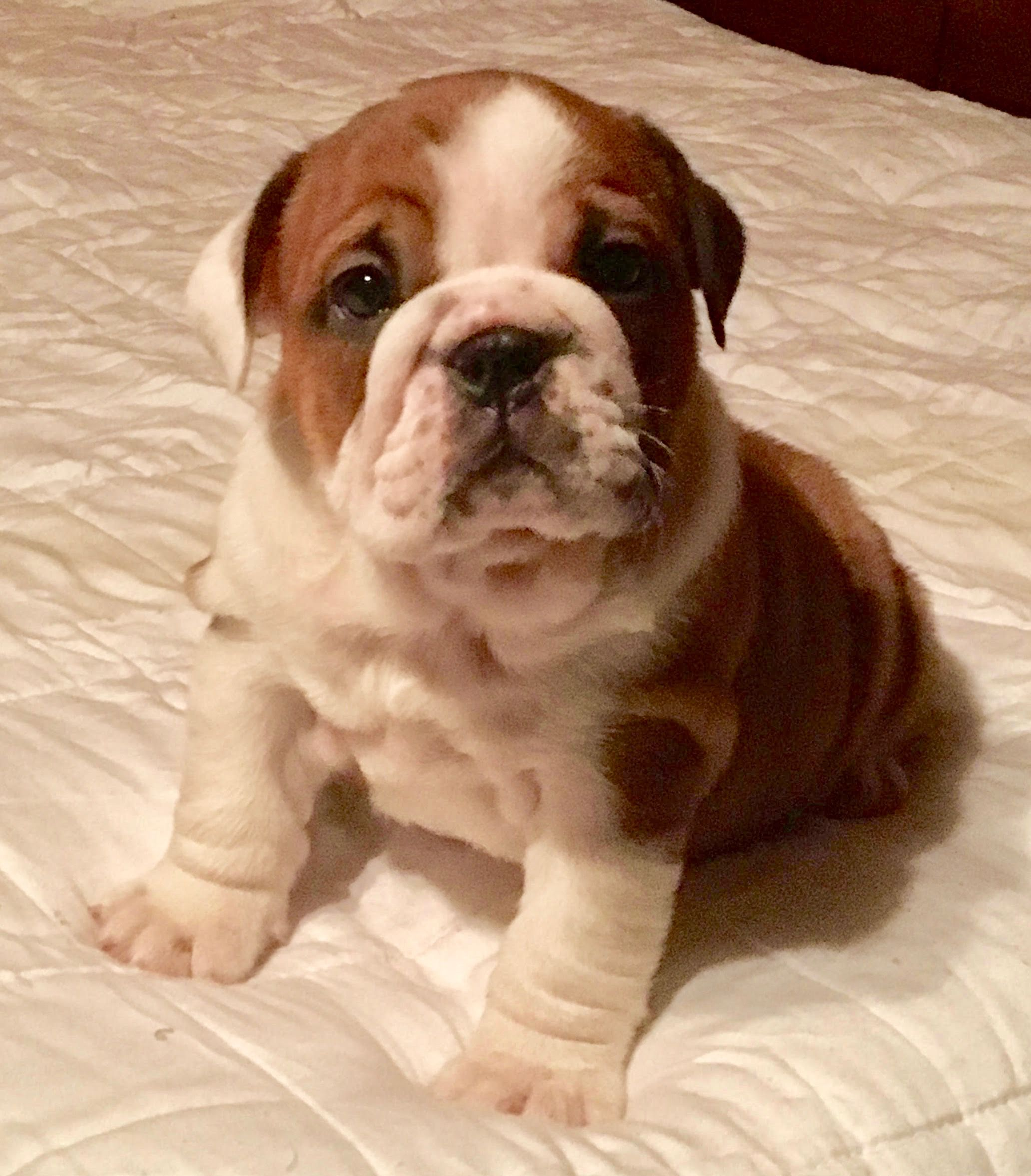 Eldora Is A Red Female English Bulldog Puppy With Champion Lines