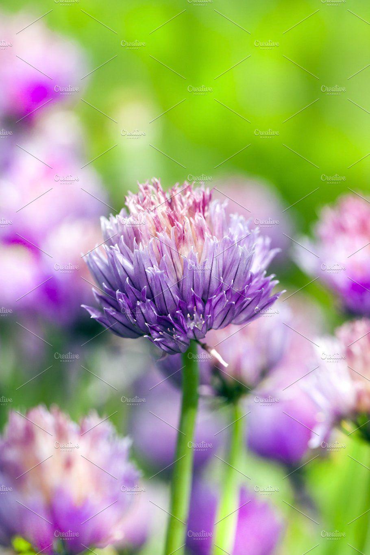 Garlic Flowers Garlic Flower Flowers Violet Flower