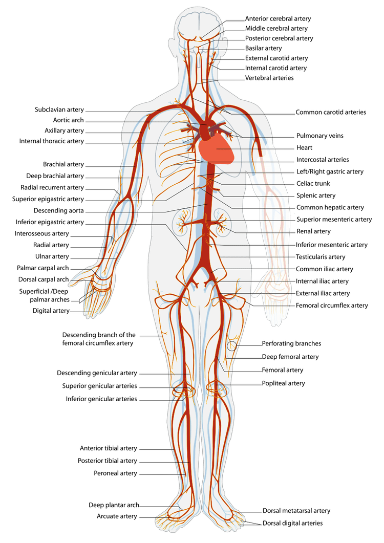 What Is an Artery?   Health Information   Pinterest