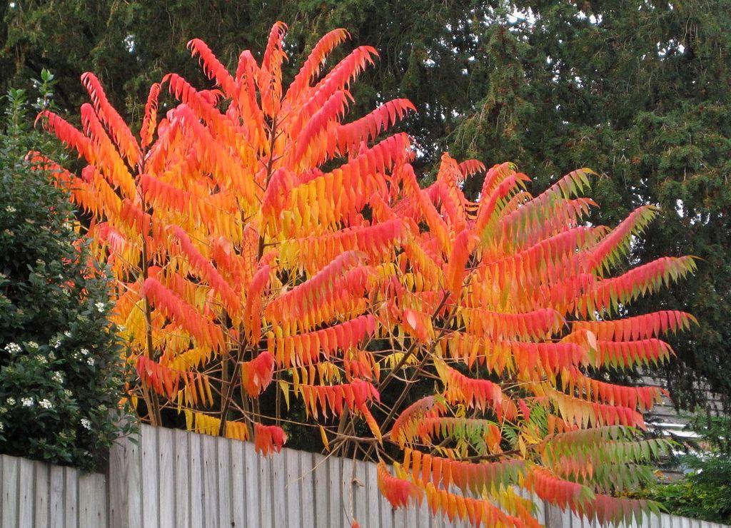 Sumac Tree Trees To Plant Garden Shrubs Garden Trees