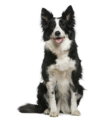 Border Collie Breed Information Dog Breeds Collie Breeds Dogs