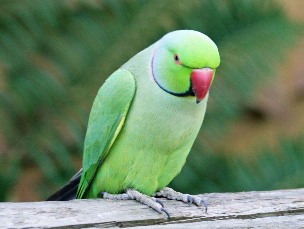 Star pamela asian ringnecked parakeets pregnant teens nude