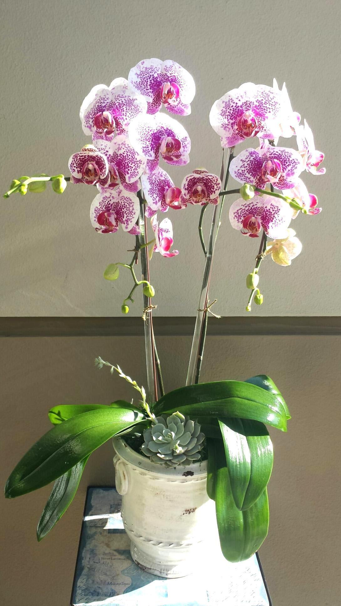 Phaleonopsis Orchid In 2020 Phalaenopsis Orchid Care Orchids Phalaenopsis Orchid