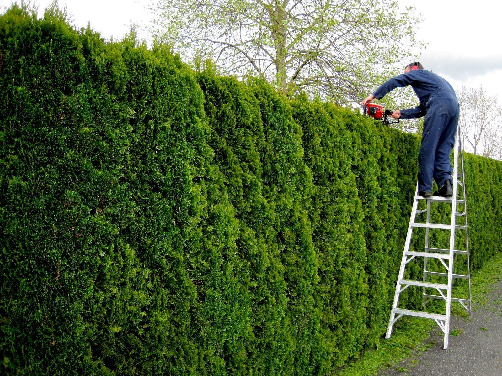 green giant arborvitae and other conifers can be sheered for a solid