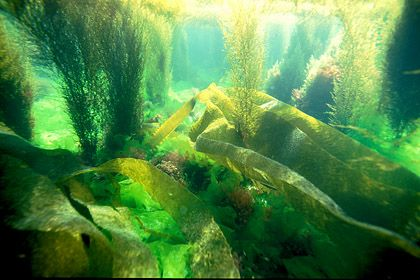 Fonds marins. Algues en mer d'Iroise