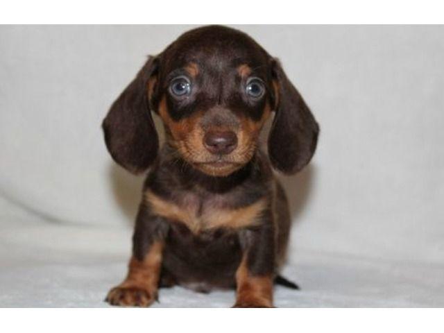 Miniature Dachshund puppies Dachshund puppies