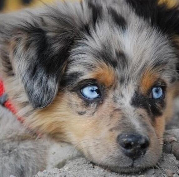 Download Cute Puppy Blue Eye Adorable Dog - 6f996bef3ff6b96e321637ea8efd19c2  Collection_607293  .jpg