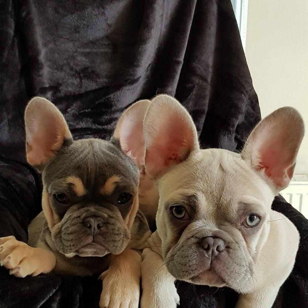 Judge Sylvester French Bulldog Puppies Bulldog Puppies Pets