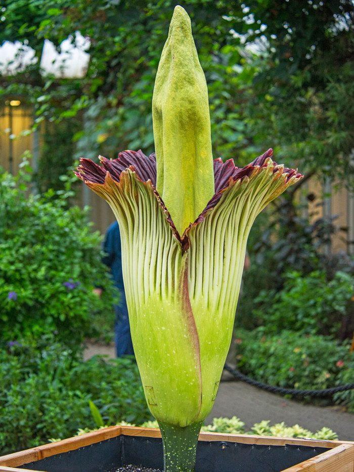 Alice The Corpse Flower Blooms At The Chicago Botanic Garden Corpse Flower Bloom Chicago Botanic Garden Corpse Flower