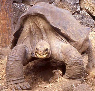 Galapagos kaplumbağasının müthiş cinsel performansı,