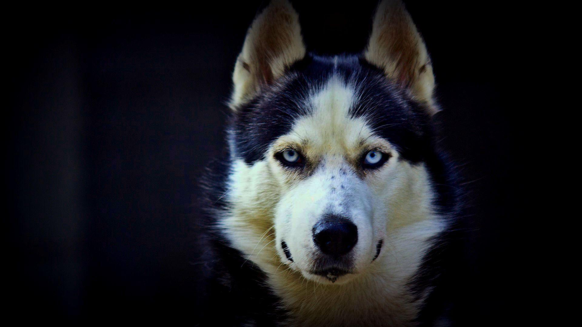 Hd Wallpapers 1080p Download Blogua Free Ultra Hd 3840x2160 High Definition Wallpaper High Definition Background 4 Husky With Blue Eyes Husky Husky Dogs