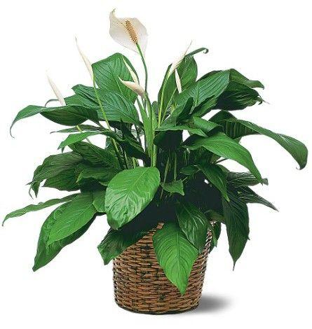 цветок комнатный спатифиллум фото