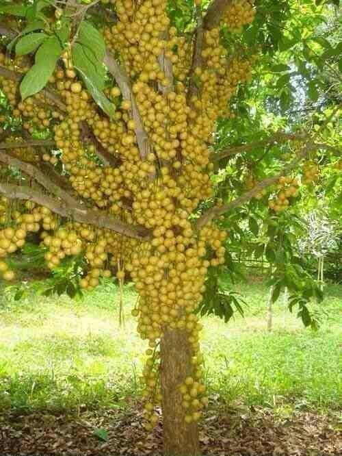Lotkon Fruit Tree Bangladesh Fruit Trees Fruit Garden Weird Fruit