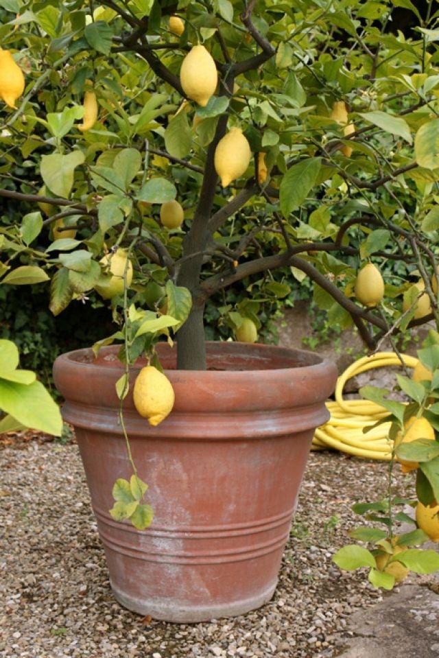 Lemon Tree Growing Indoors Container Soil Watering Fertilizer Prune Edible   Gardening U0026 Yard ...