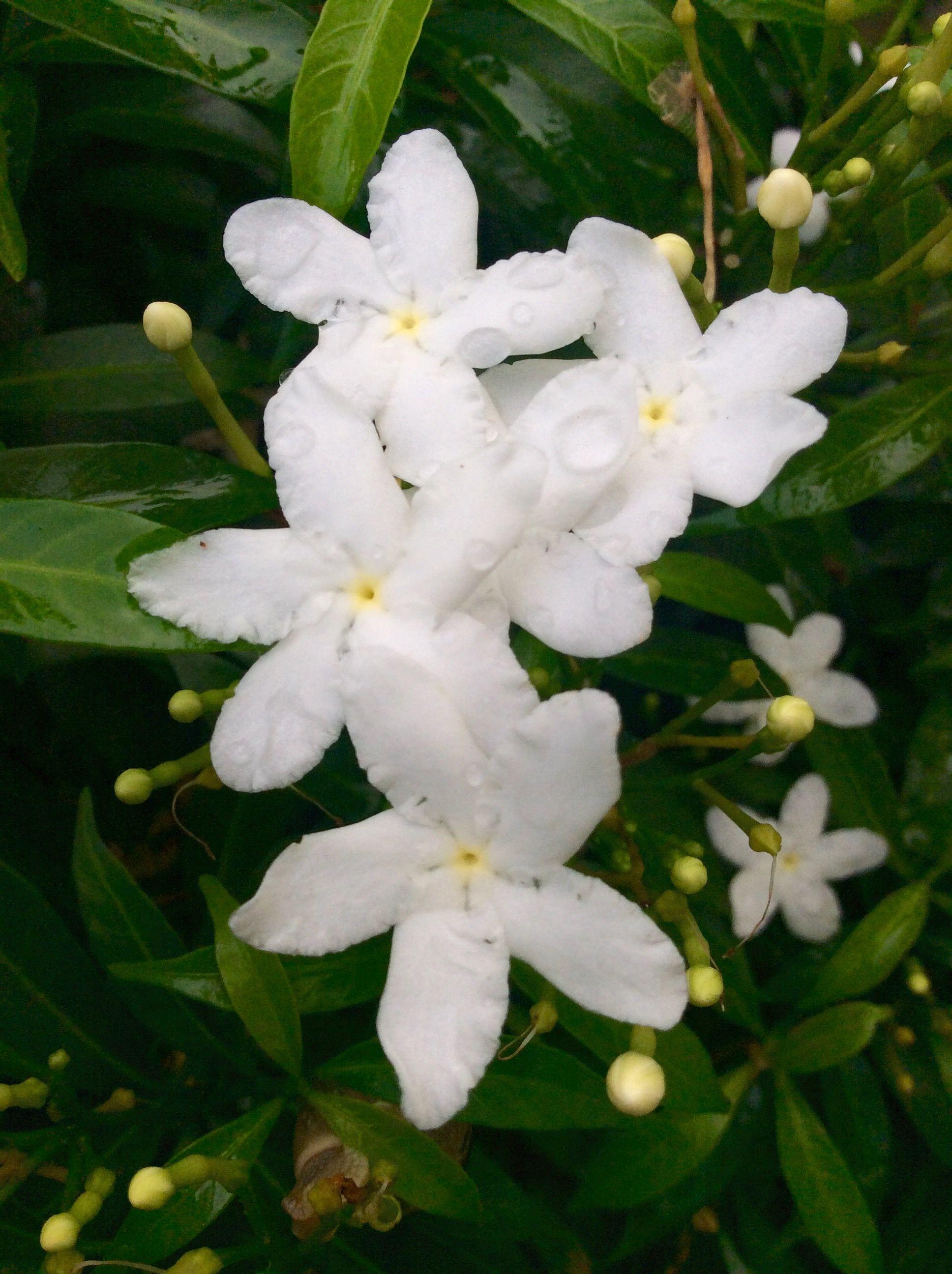 珍珠馬茶花. | Plants