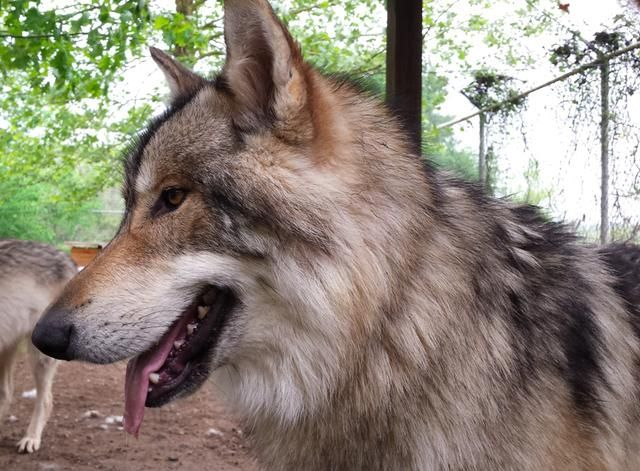 RAJAH, Mid content wolfdog, joined Saint Francis Wolf Sanctuary in March 2015. Majestic companion to Lapua.