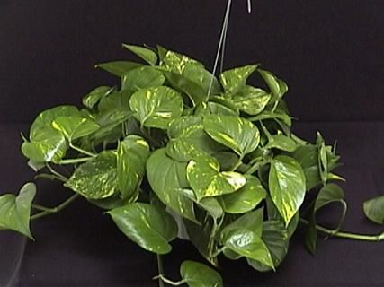 Can you use a pothos plant in betta tank fish betta for Caring for a betta fish in a bowl