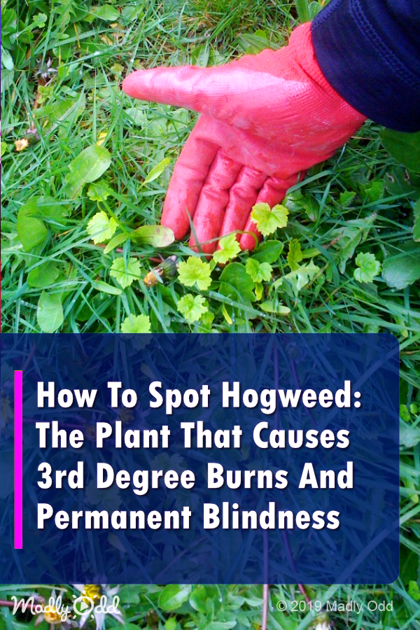 America S Most Dangerious Plant Hogweed Is Spreading Across The U S Plants Small Space Gardening Landscaping Tips