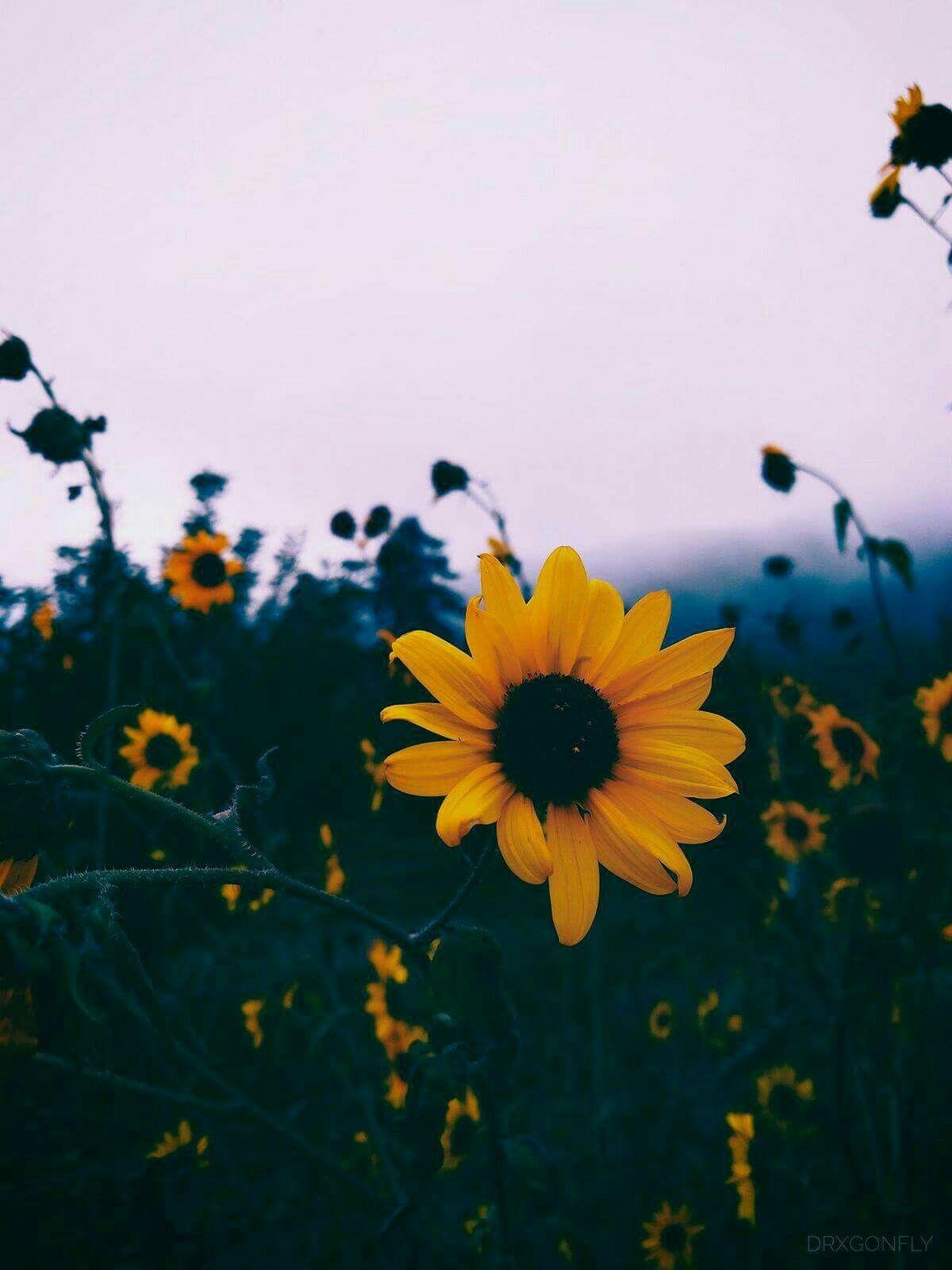 Sunflowers Sunflower Wallpaper Tumblr Backgrounds Flower Aesthetic