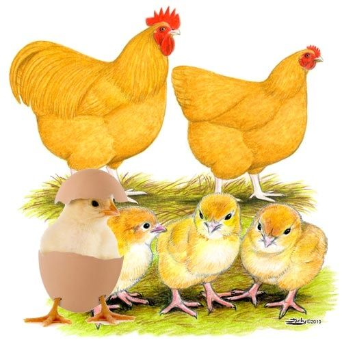 Buff Orpington Chickens Buff Orpington Chickens Chickens Backyard Best Egg Laying Chickens