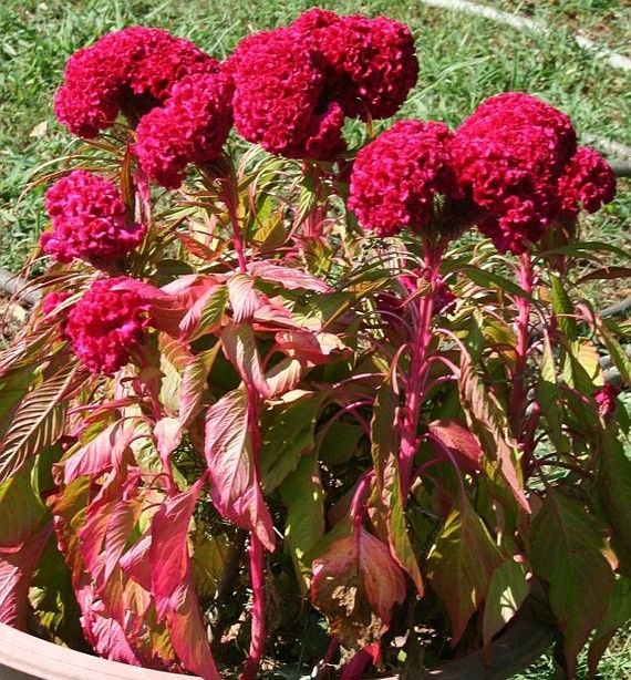 Organic Old Fashioned Heirloom Cockscomb Celosia Cristata Etsy Flowers Annual Flowers Flower Garden
