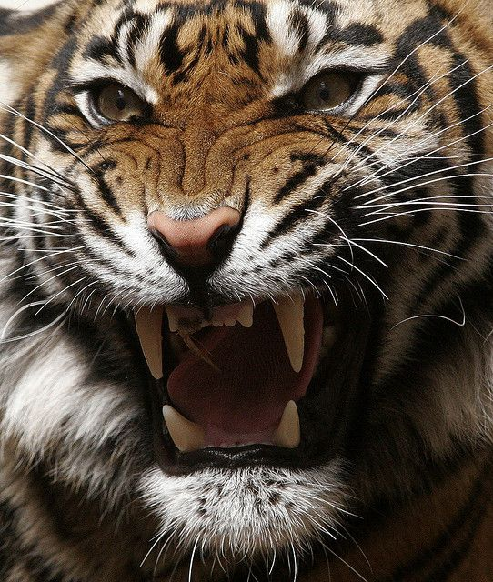 Tijger Animals beautiful, Tiger roaring, Jungle animals