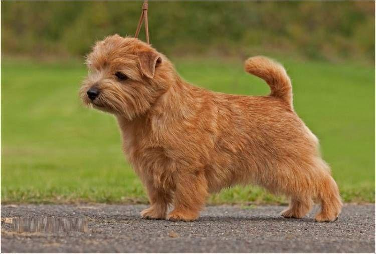 Norfolk Terrier Norfolk Terrier Puppies Norfolk Terrier Terrier Dog Breeds