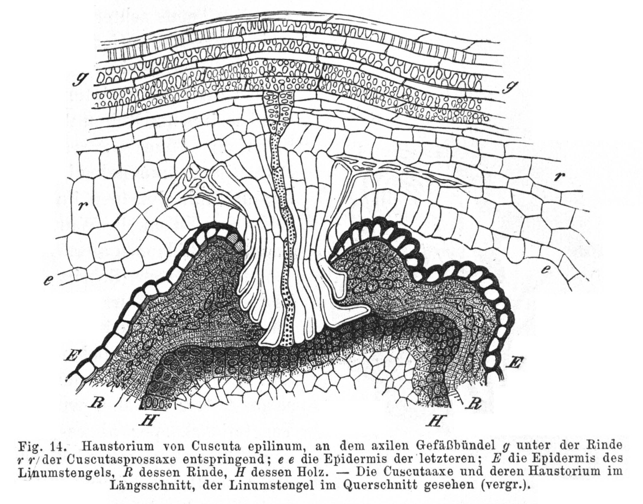 Pin By Aerobe On Parasitic Plants